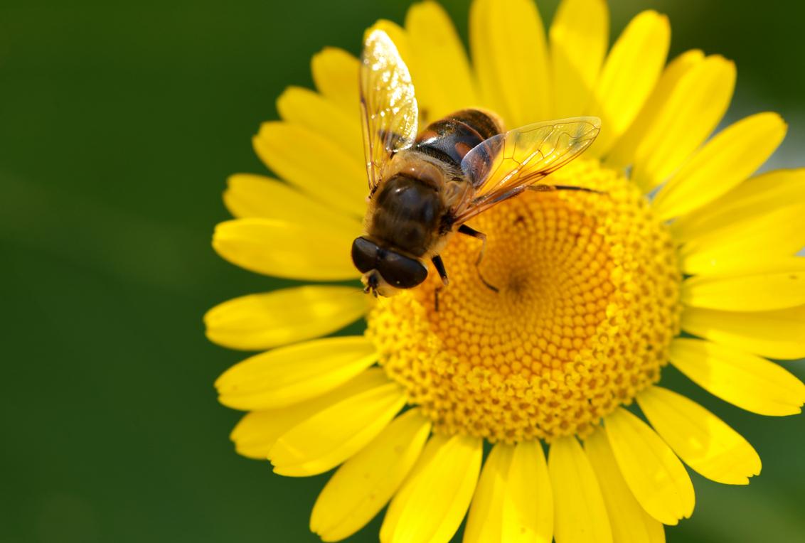 Yellow - Heimwee naar de zomer ;-) - foto door dieta op 23-09-2013 - deze foto bevat: zon, bij, vlieg, geel, zomer, zeeland