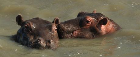 Nijlpaarden, Lake St.Lucia