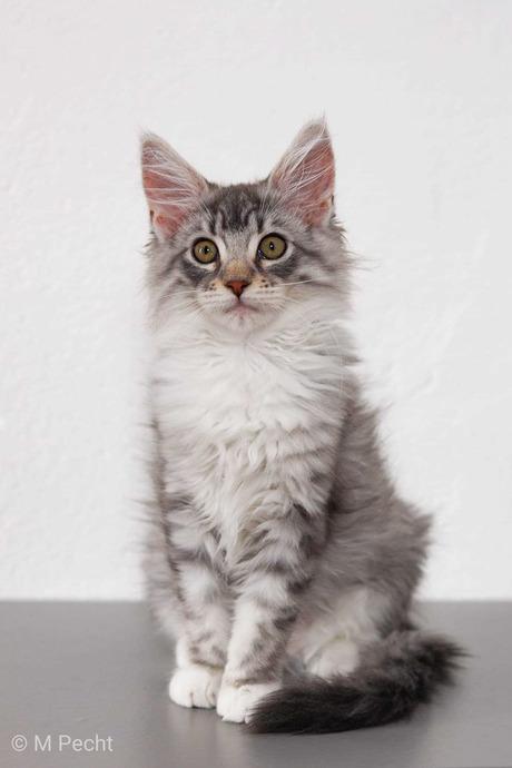 Maine coon kitten rafiki