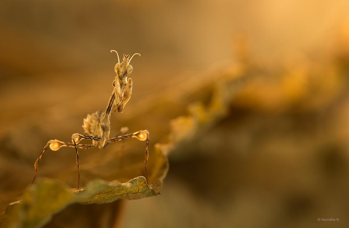 Wandering Violin - Voor het eerst is het me gelukt om met deze soort te kweken. Gongylus gongylodes oftewel Wandering Violin (Lopende Viool) zijn nou eenmaal niet zo ha - foto door mariskab op 16-11-2015 - deze foto bevat: macro, zon, licht, tegenlicht, insect, bidsprinkhaan, bokeh