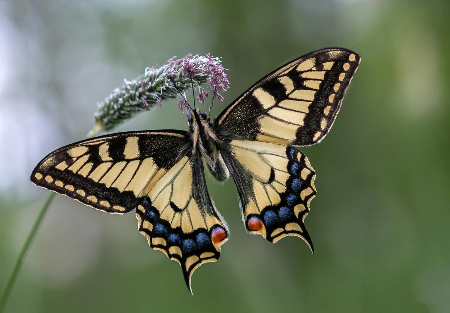Koninginnenpage - Een foto van een koninginnenpage  - foto door constant_zoom op 10-04-2021 - locatie: Echt, Nederland - deze foto bevat: vlinder, zomer, macro, page, bestuiver, geleedpotigen, insect, vlinder, fabriek, natuur, papilio machaon, motten en vlinders, papilio, bloem