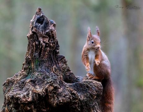 Aandachtige eekhoorn