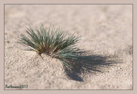 Blauwgras op zandverstuiving - Kleinplukje blauw gras op het stuifzand van het Rozendaalseveld , prachtige dromerige zachte kleuren - foto door a.veerman1 op 12-10-2010 - deze foto bevat: blauw, natuur, geel, zand, beve, groenb
