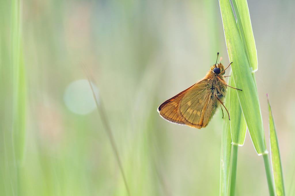 Groot Dikkopje - Bewolkt weer en af en toe een spat regen, het dikkopje had zijn plek gevonden tussen het gras. - foto door Paul1973_zoom op 02-08-2016 - deze foto bevat: macro, natuur, vlinder, bokeh