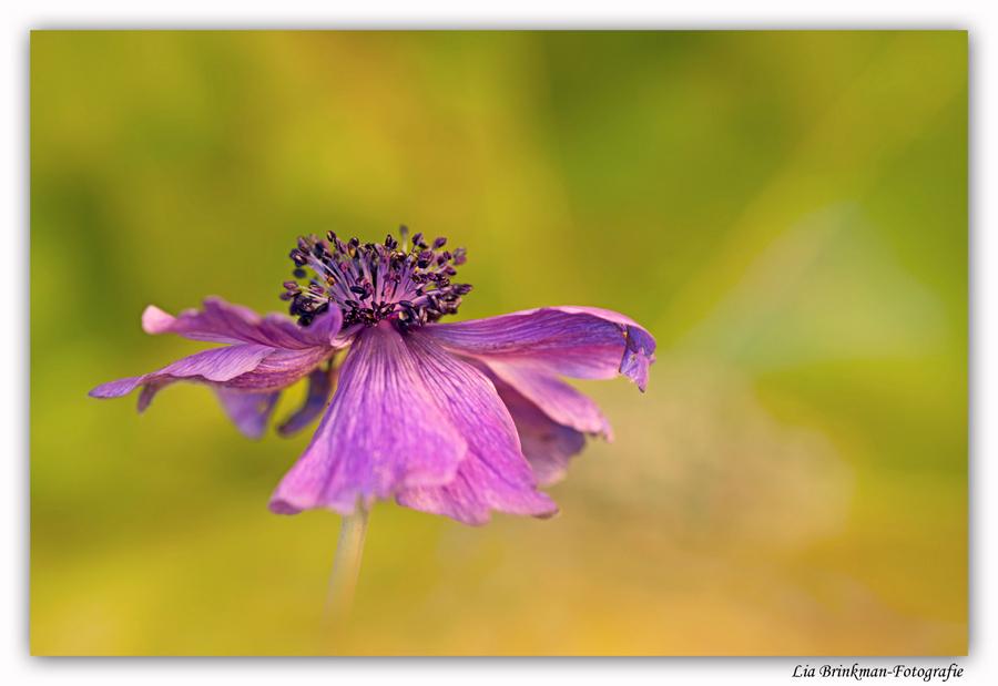 Trots in bloei - Vol trots staat deze bloem in mijn tuin tussen alle herfstkleuren. Als een laatste groet aan de zomer. De winter komt eraan. - foto door hulsman op 19-11-2013 - deze foto bevat: roze, bloem, herfst