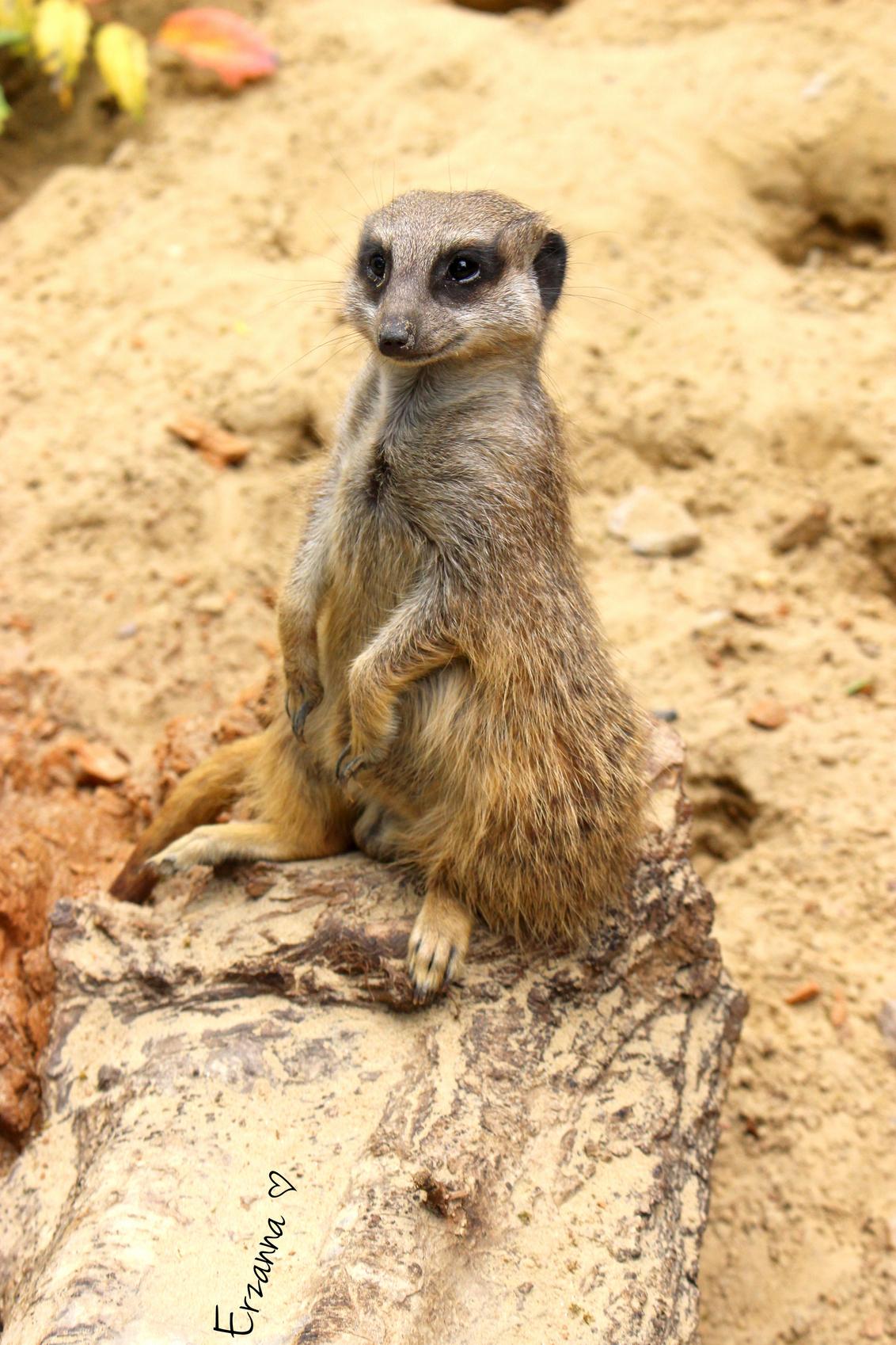 Stokstaartje - Hij ging er zo mooi bij zitten :) - foto door Erzanna op 29-06-2015 - deze foto bevat: dierentuin, dieren, wildlife