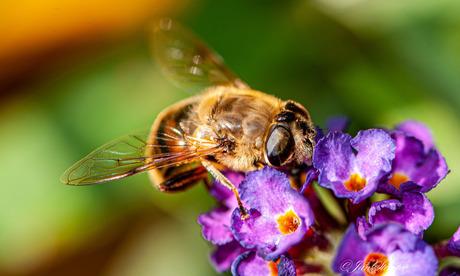 Blinde Bij/Zweefvlieg op vlinderstruikbloem
