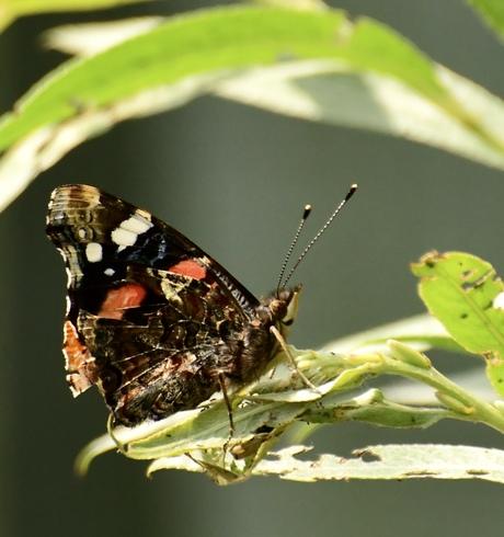 Vlinder, even rusten