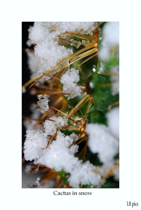 Cactus in de sneeuw - Onze cactus staat deze hele winter al buiten en heeft dus al heel wat te verduren gehad . - foto door XIANG op 01-02-2010 - deze foto bevat: groen, wit, sneeuw, cactus
