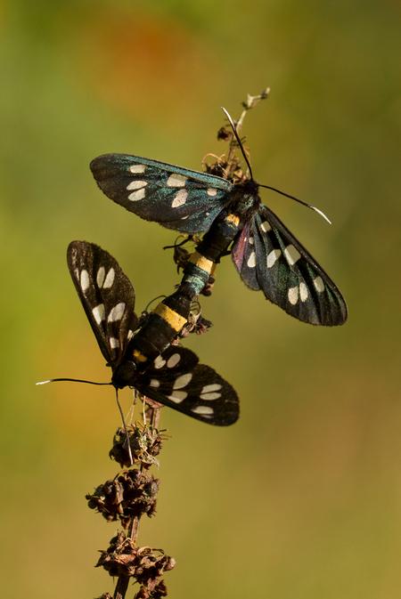 no milkdrops to spoil - De phageavlinder heeft als nederlandse bijnaam o.a. die van melkdrupje, vandaar deze titel. Deze plaat is van een geweldige dag ergens in het zuiden  - foto door ronab op 28-01-2012 - deze foto bevat: macro, vlinder, phegeavlinder, ronab