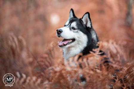 Husky tussen de Varens in het bos. - Husky midden tussen de bruin geworden Varens in het bos. - foto door MarD7000 op 30-10-2018 - deze foto bevat: herfst, bos, hond, varens