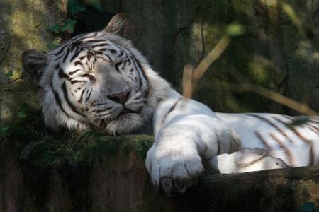 Witte Tijger - Gespot in Dierenpark Amersfoort - foto door thijs66 op 19-10-2010 - deze foto bevat: wit, dierentuin, tijger