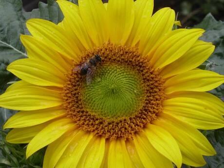 Zonnebloem / Sun flower