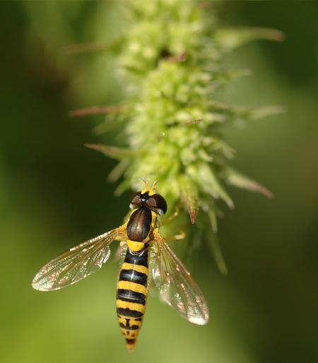 Zweefvlieg - Deze zoemde vrolijk door de tuin. Toen hij een nanoseconde stil zat heb ik er een foto van gemaakt. - foto door Lailaat op 31-07-2008 - deze foto bevat: macro, wesp, bij, vlieg, zweefvlieg, insect, nikon, tamron, biemie, nerds