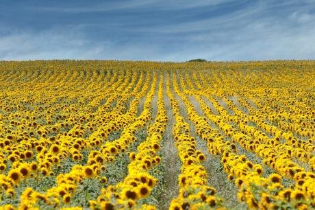 zonnebloemen op een rijtje 1078
