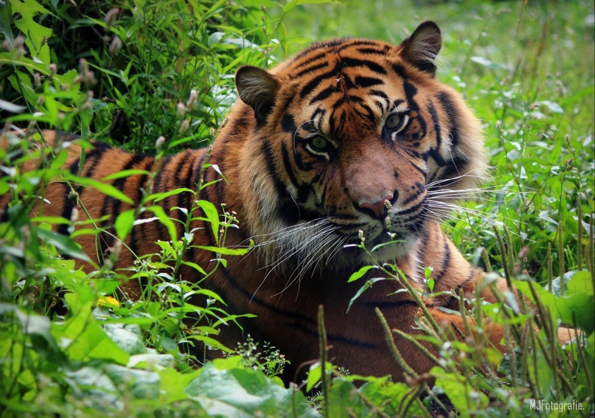 Tijger - Deze mooie tijger heb ik gespot in Diergaarde Blijdorp Rotterdam. - foto door merianx op 09-12-2014 - deze foto bevat: gras, groen, dierentuin, natuur, dieren, tijger, mooi, wildlife, blijdorp, aankijken, diergaarde blijdorp, blijdorp rotterdam - Deze foto mag gebruikt worden in een Zoom.nl publicatie