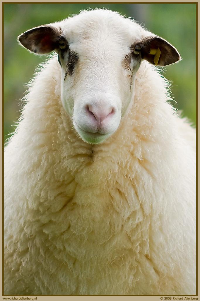 Verkeerd gewassen - Het lijkt of dit arme schaap een verkeerd wasprogramma heeft ondergaan waardoor zijn vacht opgezet is, maar nee hoor, het gaat hier om een schitteren - foto door Richard_Altenburg op 09-09-2008 - deze foto bevat: schaap, wol, vacht, heideschaap, veluws, steenwijkerland, opgezet, haardos, altenburg, leeuwte