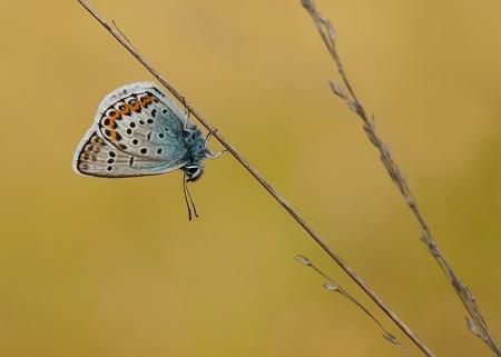 zoomdag Heino -5- - Nog een foto van de zoomdag van 30 juni.Dit heideblauwtje heb ik wat groter in beeld gebracht. Prachtig stil zaten ze in het mooie zonnige avondlicht - foto door willy4 op 20-07-2012 - deze foto bevat: vlinder, heideblauwtje, Boetlerveld, willy4