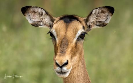 Impala portret