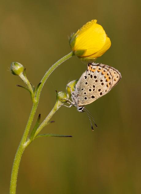 Bruine vuurvlinder op boterbloem
