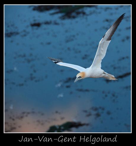 Jan-van-gent op bij Helgoland