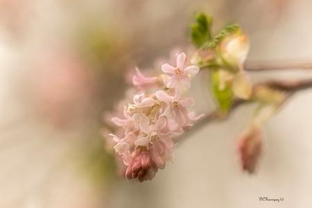 Lentebloesem - Heerlijk om beetje bij beetje de bloesem tevoorschijn zien komen.   Iedereen bedankt voor de fijne reacties bij mijn vorige opname. - foto door Dodsi op 18-03-2021 - deze foto bevat: roze, macro, bloem, natuur, herfst
