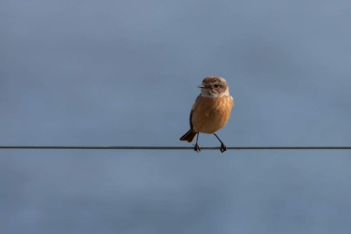 Roodborsttapuit - Dit is het vrouwtje roodborsttapuit. Zowel mannetjes als vrouwtjes hebben een oranje borst, de mannetjes hebben daarbij ook nog een zwarte kop. Ze  - foto door Santakees op 17-03-2021 - deze foto bevat: vogel, roodborsttapuit, vrouwtje