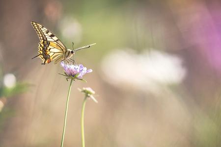 The Queen - Weer thuis na een mooie vakantie in de Ardèche. Veel vlinders gezien zoals deze Koninginnenpage. - foto door diaantje78 op 03-08-2019 - deze foto bevat: zon, bloem, natuur, vlinder, licht, zomer