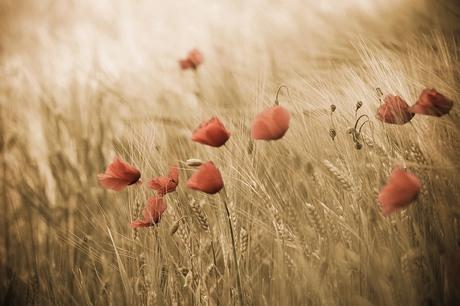 Poppies & Grain