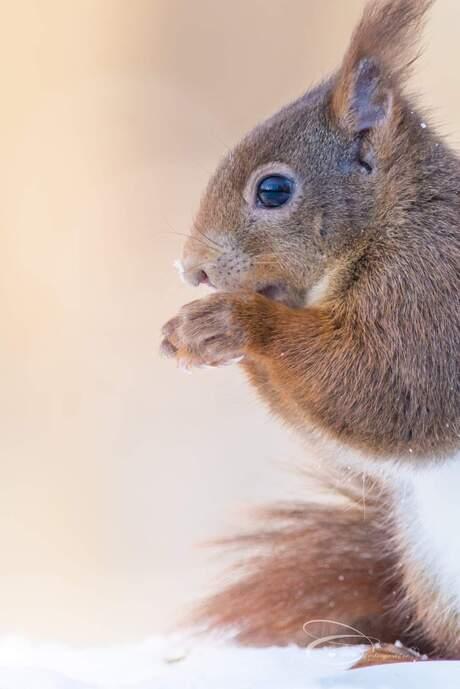 Close up eekhoorntje in de sneeuw