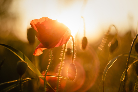Poppies in the evening sun