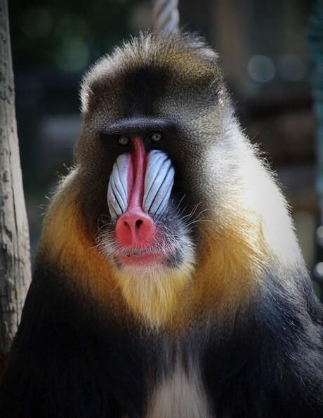 Mandrill aap.