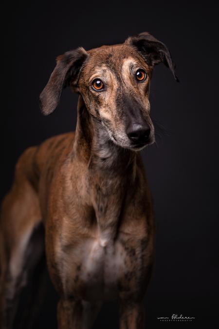 Valey - Valey is een geredde Galgo uit Spanje, ik heb hem een maand opgevangen tot hij werd geadopteerd en mocht verhuizen naar zijn forever home. In deze pe - foto door foscofotografie op 02-04-2021 - deze foto bevat: portret, dieren, huisdier, hond, honden, dier, canon, studio, resque, flitsen, sigma, hondenportret, flitslicht, dierenfotografie, studiofotografie, galgo, studioportret, hondenfotografie, Godox, hondenfotograaf