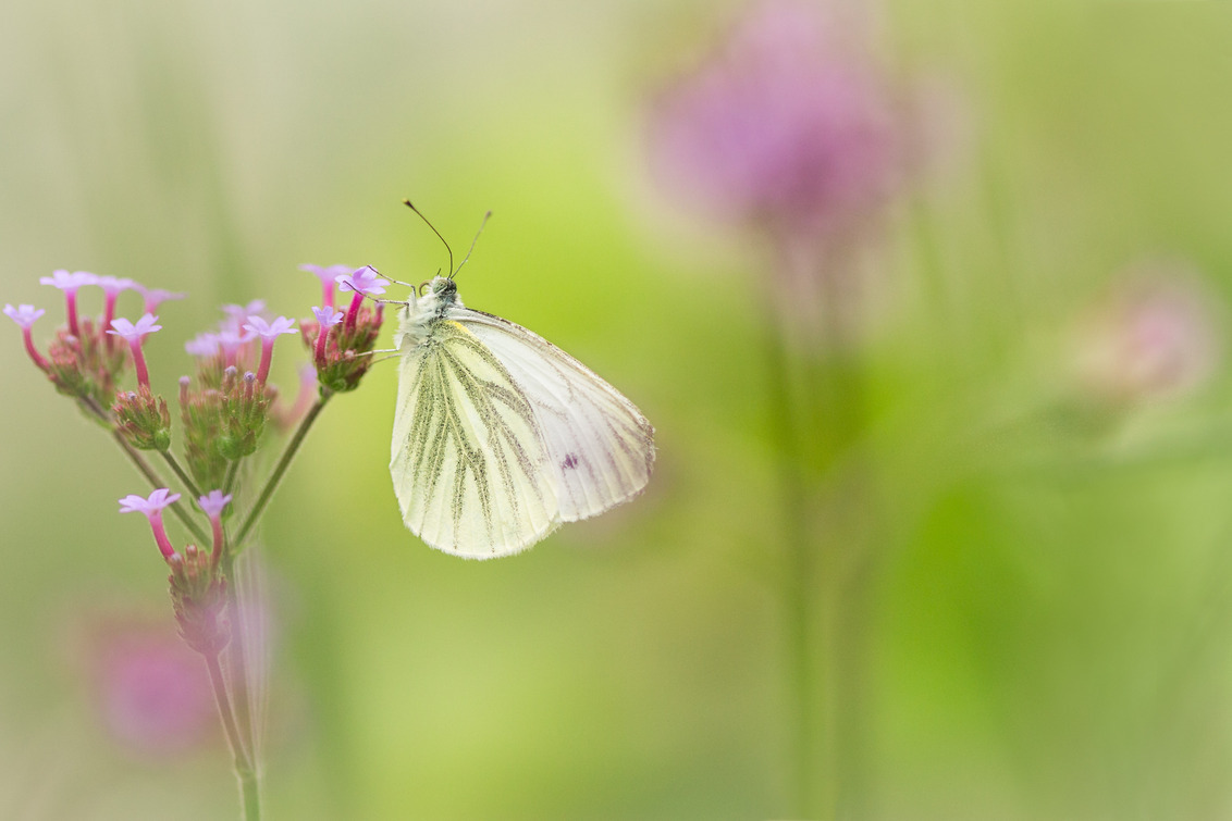 De wereld van een vlinder - Geaderd witje - foto door rolf026 op 27-06-2014 - deze foto bevat: roze, paars, macro, bloem, natuur, vlinder, wereld, Geaderd witje