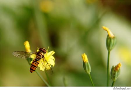Zweefvlieg - Alvast bedankt voor jullie reactie's.  Gr. Johannes - foto door cowiefotografie op 20-09-2020 - deze foto bevat: groen, macro, natuur, zweefvlieg, geel, zwart, zomer, insect, dof