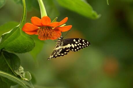vlinder 04