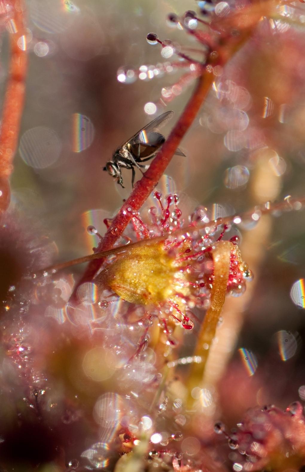 Slachtoffer - Deze vlieg is het slachtoffer van de kleef stof op de zonnedauw - foto door jvos1972 op 04-06-2011 - deze foto bevat: vlieg, zonnedauw