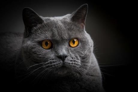 de ogen van een kat