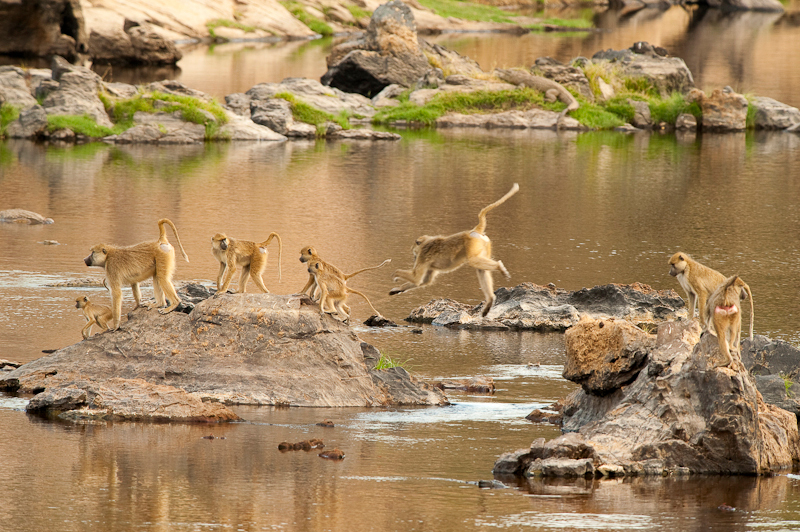 jump for life - We kwamen tegen het einde van de dag binnen in Ruaha NP en zagen deze apen op zeer omzichtige wijze de rivier oversteken. Met hoge sprongen jumpten z - foto door rdj64 op 15-04-2012 - deze foto bevat: water, aap, sprong, tanzania, ruaha, rdj64