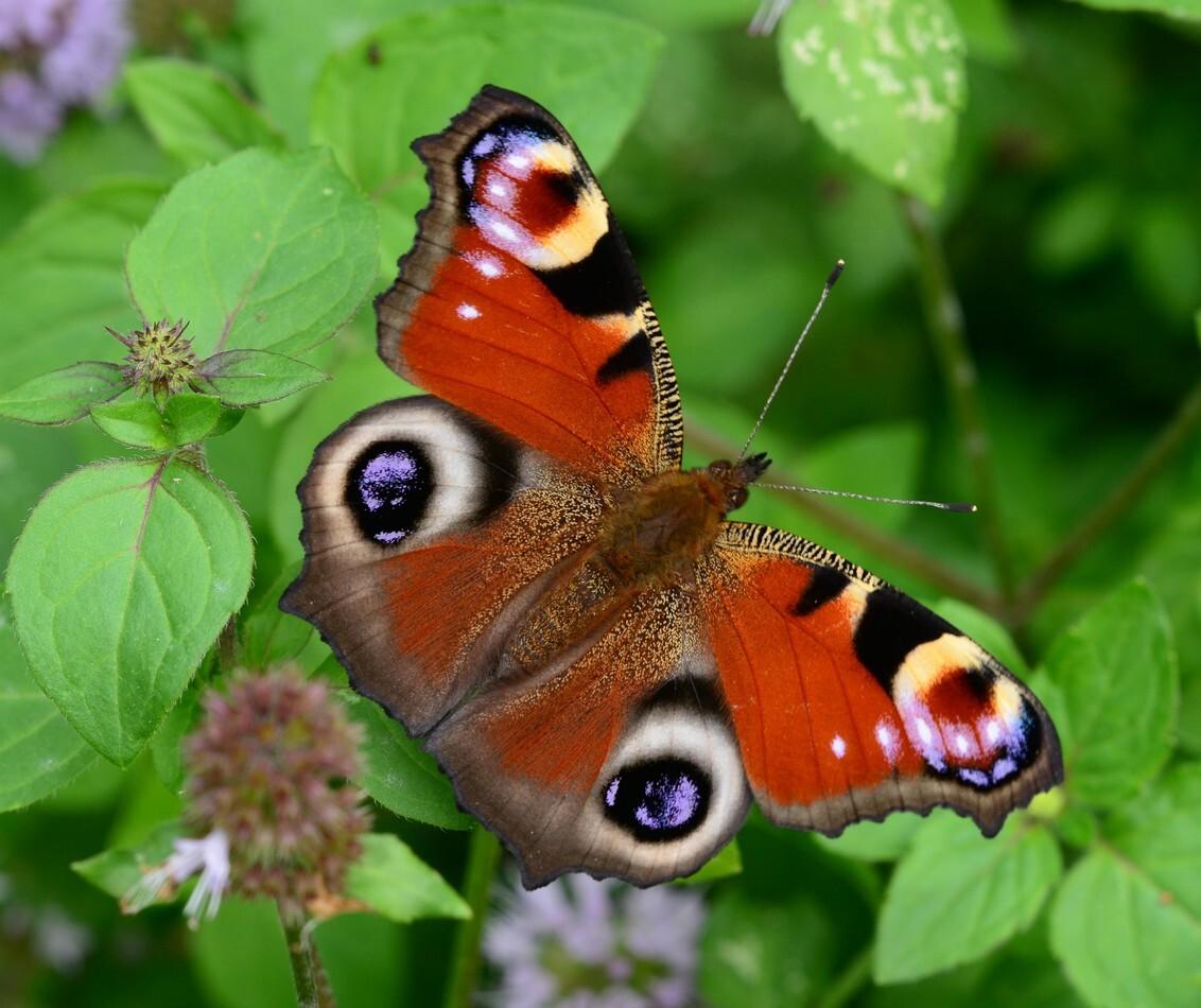 Dagpauwoog - Een Dagpauwoog toont ons haar prachtige kleuren. - foto door FocusV op 10-09-2020 - deze foto bevat: groen, rood, macro, vlinder, insect