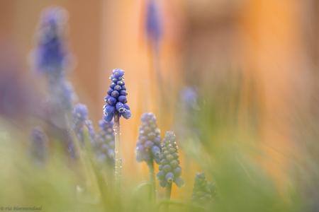 blauwe druifjes in mijn tuin - Tweede paasdag kon ik het niet nalaten om even mijn tuin in te duiken om deze foto te maken. Voor mij de start van het macroseizoen. bedankt voor de - foto door riabloemendaal op 04-04-2018