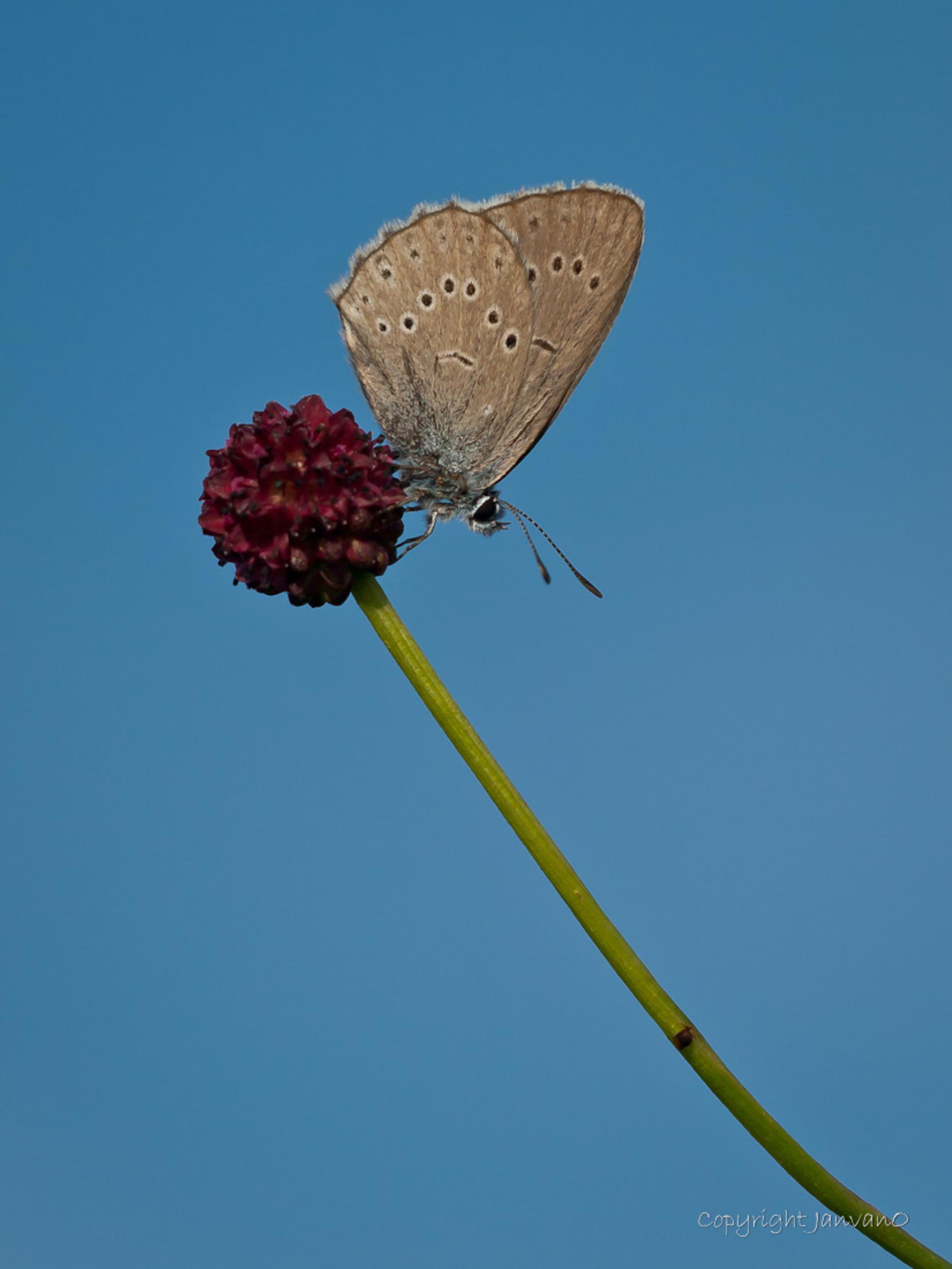 """Olympus blue - Ze zeggen wel eens dat de kleuren van een Olympus dslr eruit springen , vooral het blauw, onder de Oly adepten bekend als """"Olympus blue"""" Dit zeldzam - foto door JanvanO op 18-07-2012 - deze foto bevat: vlinder, zeldzaam, pimpernelblauwtje, janvano, olympus e-3, Sigma 150mm - Deze foto mag gebruikt worden in een Zoom.nl publicatie"""