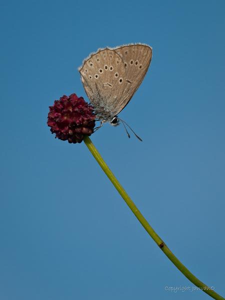 """Olympus blue - Ze zeggen wel eens dat de kleuren van een Olympus dslr eruit springen , vooral het blauw, onder de Oly adepten bekend als """"Olympus blue"""" Dit zeldzam - foto door JanvanO op 18-07-2012 - deze foto bevat: vlinder, zeldzaam, pimpernelblauwtje, janvano, olympus e-3, Sigma 150mm"""