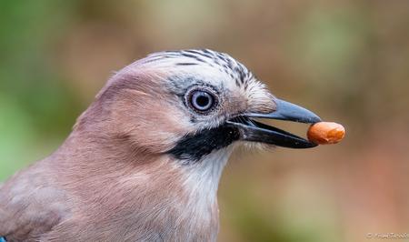 Notenkraker - - - foto door frankjacobs op 02-05-2018 - deze foto bevat: natuur, dieren, vogel, nikon, gaai, noot, frank jacobs, jacobsfrank, nikon d500