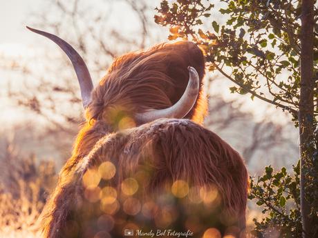 Schotse Hooglander tijdens zonsopgang