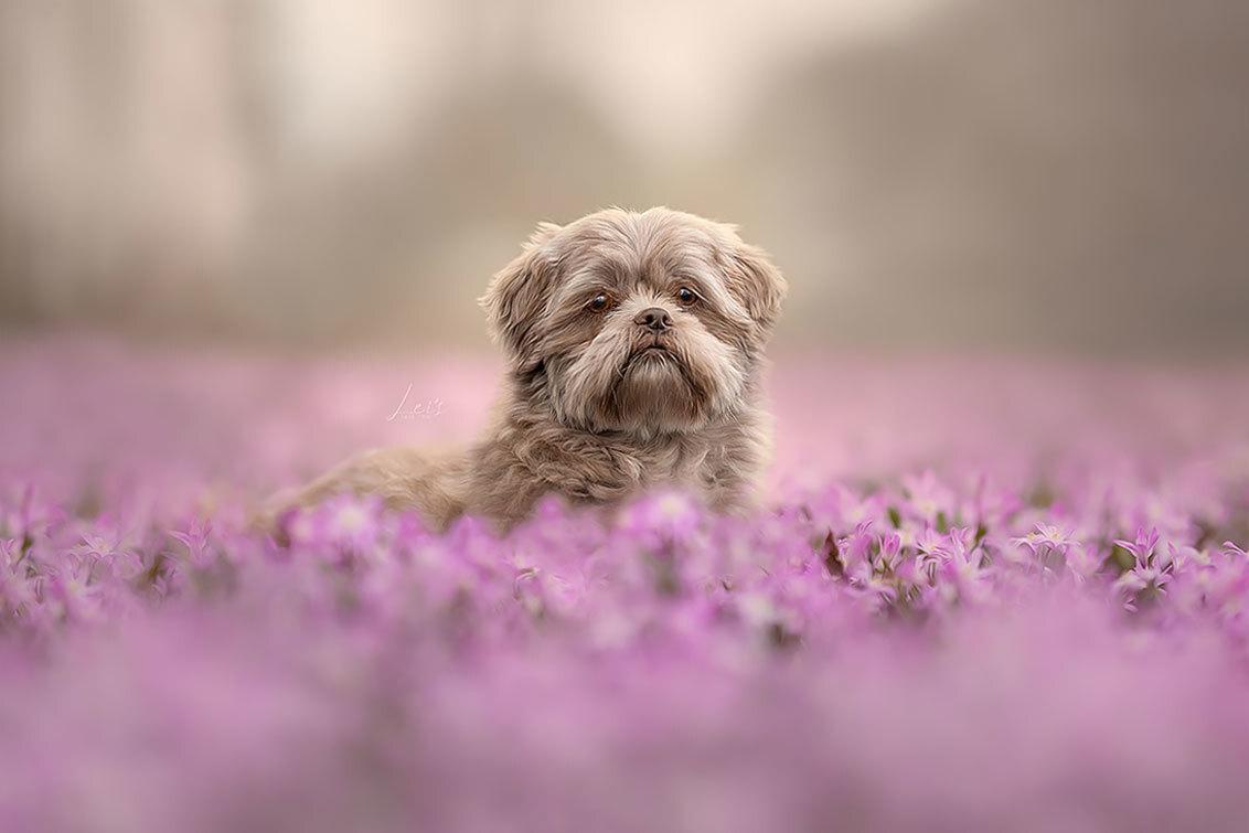 Spring vibes - - - foto door YongleiOfficial op 25-03-2021 - deze foto bevat: portret, dieren, huisdier, hond, honden, canon, portretfoto, hondenportret, hondenfotografie, hondenfotograaf, pet photography, dog photography, sigma 105mm f/1.4 dg hsm art