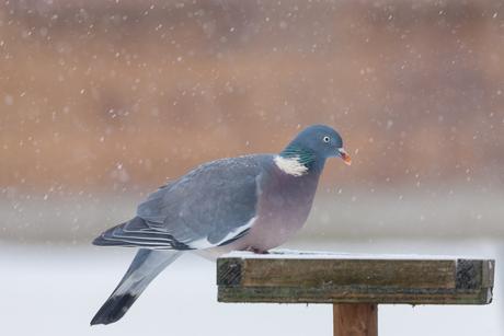 Houtduif in sneeuw