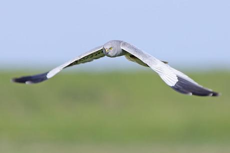 grauwe kiekendief op jacht
