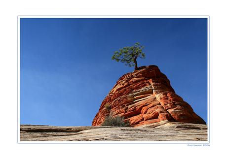 Pinion Pine