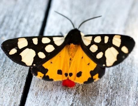 vlinder zuid frankrijk
